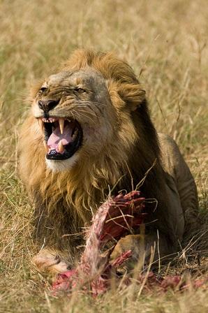 Lion Prey